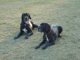 Zwei schwarze Doggen auf einer Wiese.